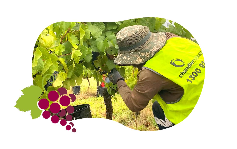 Chandler Agribusiness - image of farmworker harvesting